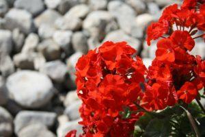 geranium_essentialoil